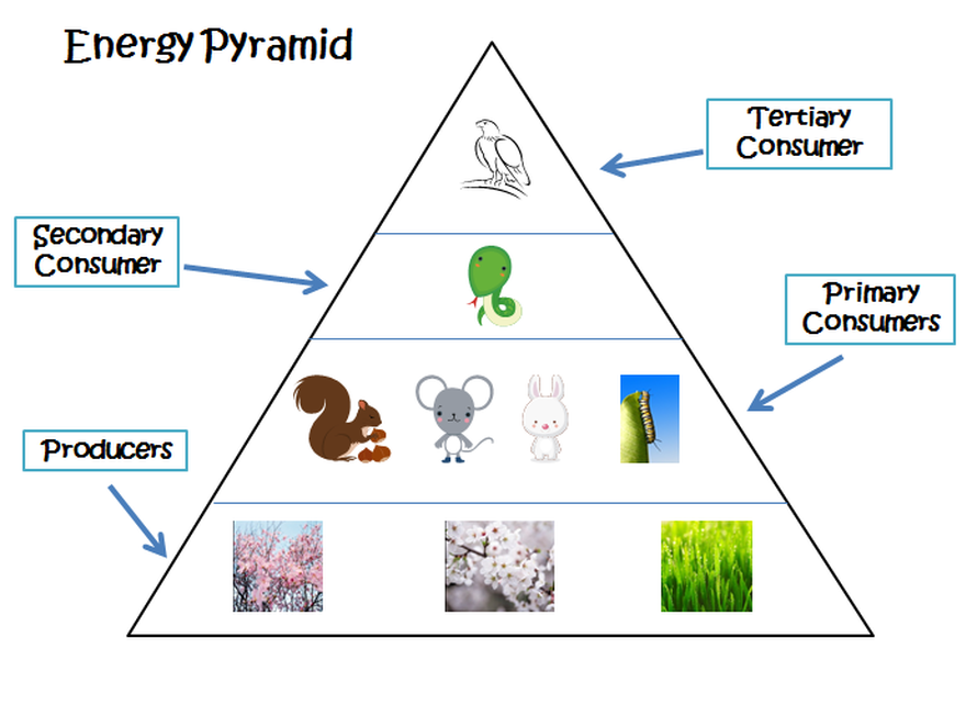 An Example Of An Energy Pyramid Forest Ecosystem
